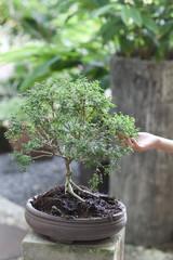 A very small bonsai tree in the backyard.