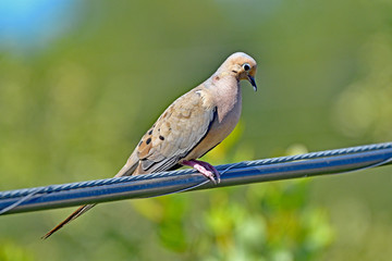 Morning Dove on the Wire
