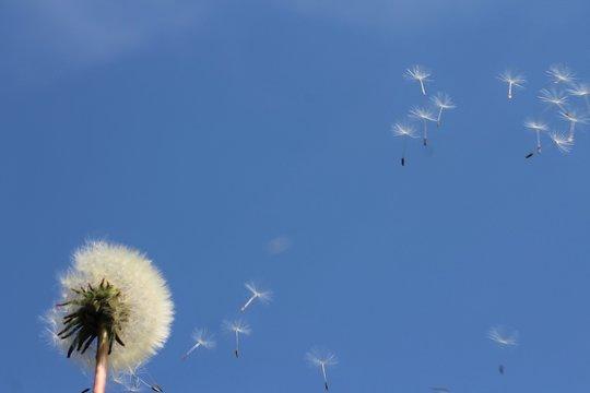 Pissenlit au vent