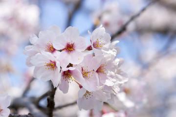 """Japanese Cherry blossoms """"sakura"""""""