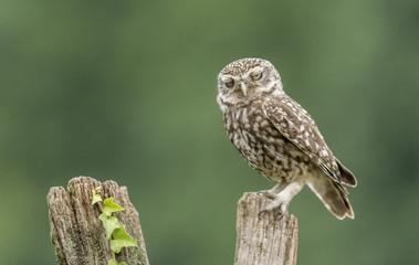 Little Owl 25