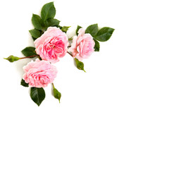 Pink roses (shrub rose) on a white background with space for text. Top view, flat lay.
