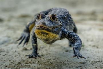 Black kajman Melanosuchus nige