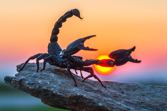 Scorpion at sunset (Scorpionida)