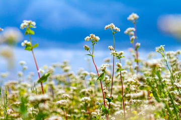 Acrylic Prints Village Blooming buckwheat field under the summer sky with clouds.