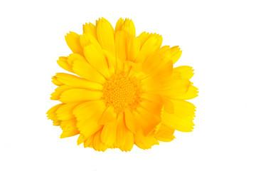 Yellow English marigold isolated on white