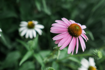 Pink echinacea flower growing in the garden
