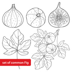 Vector set with outline Common Fig or Ficus carica fruit. Slice, leaf and branch isolated on white background. Perennial subtropical plant in contour style for exotic summer design and coloring book.