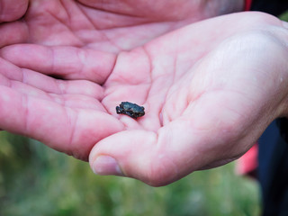 Tiny frog sitting on a man's palm. Sands of Forvie Natural Nature Reserve, Aberdeenshire, Scotland, UK