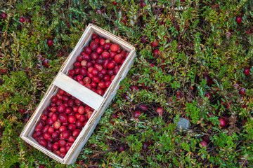 basket with fresh cranberries on a background of cranberry bushe