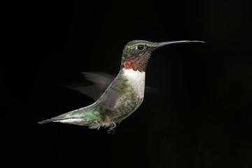 Fotoväggar - Male Ruby-throated Hummingbird