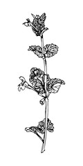 Wild flower. Sketch style. Vector hand drawn weed.