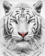 Fototapete - Mighty tiger