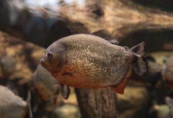 Piranha, Serrasalmus bat Natterer, fish-eating meat
