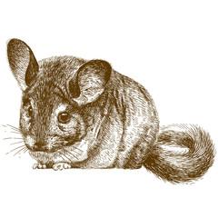 engraving illustration of chinchilla