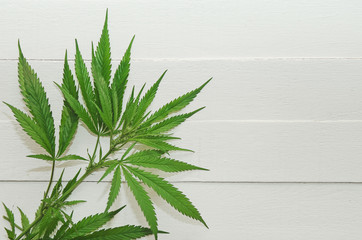 Branch with marijuana leaves on a neutral background. Wild plant. Closeup, copyspace.