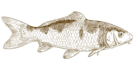 engraving illustration of koi fish