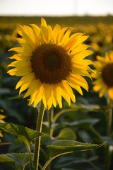 Sunflower in the field closeup