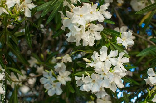 White oleander flowers on a branch stock photo and royalty free white oleander flowers on a branch mightylinksfo