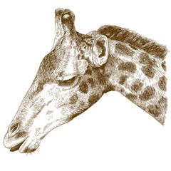 engraving  illustration of giraffe head