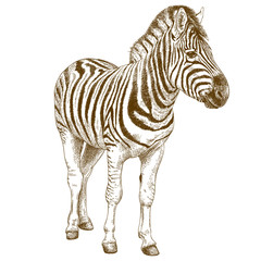 engraving illustration of african zebra