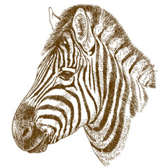 engraving  illustration of zebra head