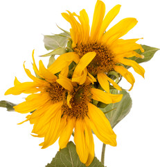 Sunflower flowers on a white background
