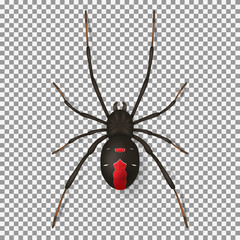 Black spider isolated on transparent backdrop. Top view on realistic insect with red points. Vector illustration.