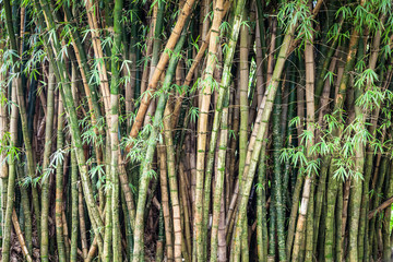 Green Bamboo Forest in Oahu, Hawaii