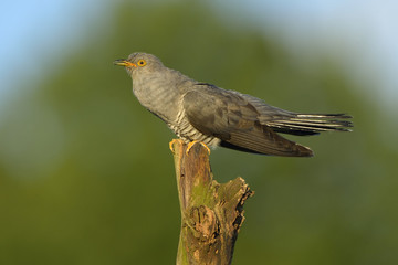 Common cuckoo (Cuculus canorus) - adult male calling, natural green background
