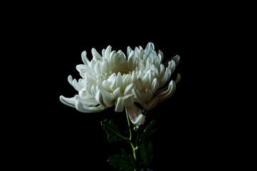 Fotobehang a macro white flower on black background