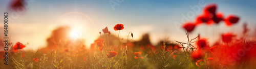 Wall mural Beautiful poppy flowers on the field at sunset