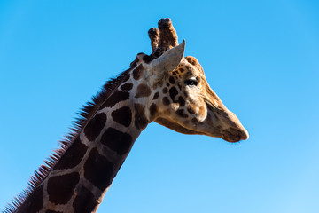 details of a giraffe's head and neck