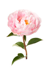 Pink rosy peony with a stem and leaves isolated on white background.