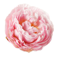 Pink rosy peony isolated on white background.