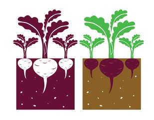 beetroot plant with leaves and tubers,vector illustration