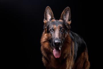 Dog German shepherd on a black background