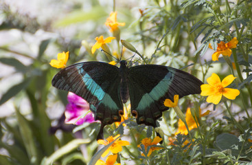 Papilio palinurus