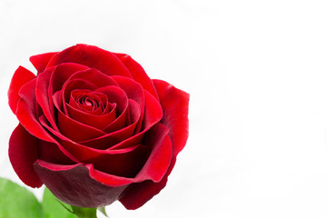 Fresh red flower, isolated on white