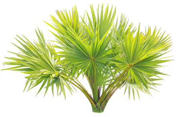 young Betel palm on isolate background
