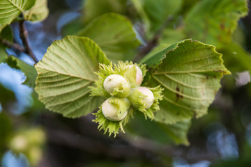 Hazelnuts on a branch