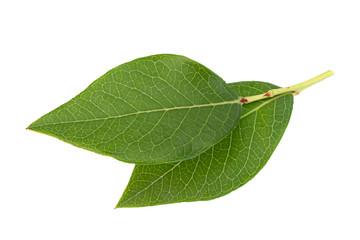 Blueberry fruit leaf closeup