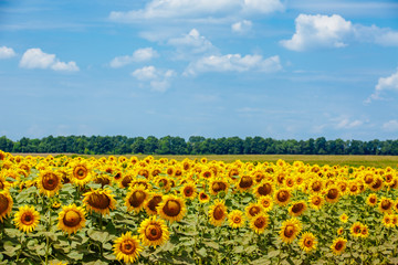 Summer field of sunflowers against the blue sky and clouds. Harvesting