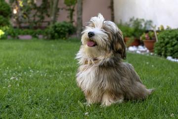 Havanais dog