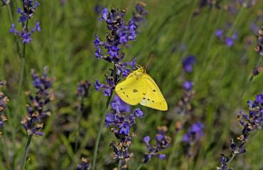 Close-up of yellow Butterfly on lavender plant