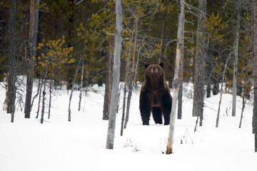 The brown bear (Ursus arctos) on the snow