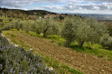 Tuscan rural landscape with Olives Trees in the countryside near Florence, Italy