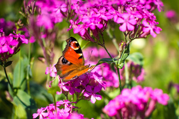 Butterfly pollinating flowers.
