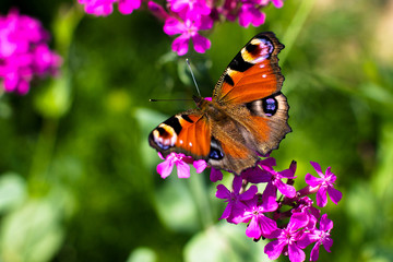 Butterfly and pink flowers.
