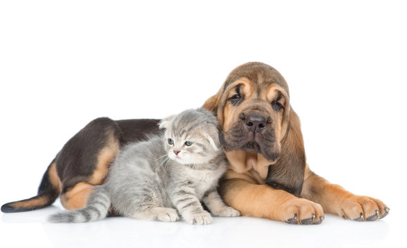 Bloodhound puppy lying with kitten. isolated on white background